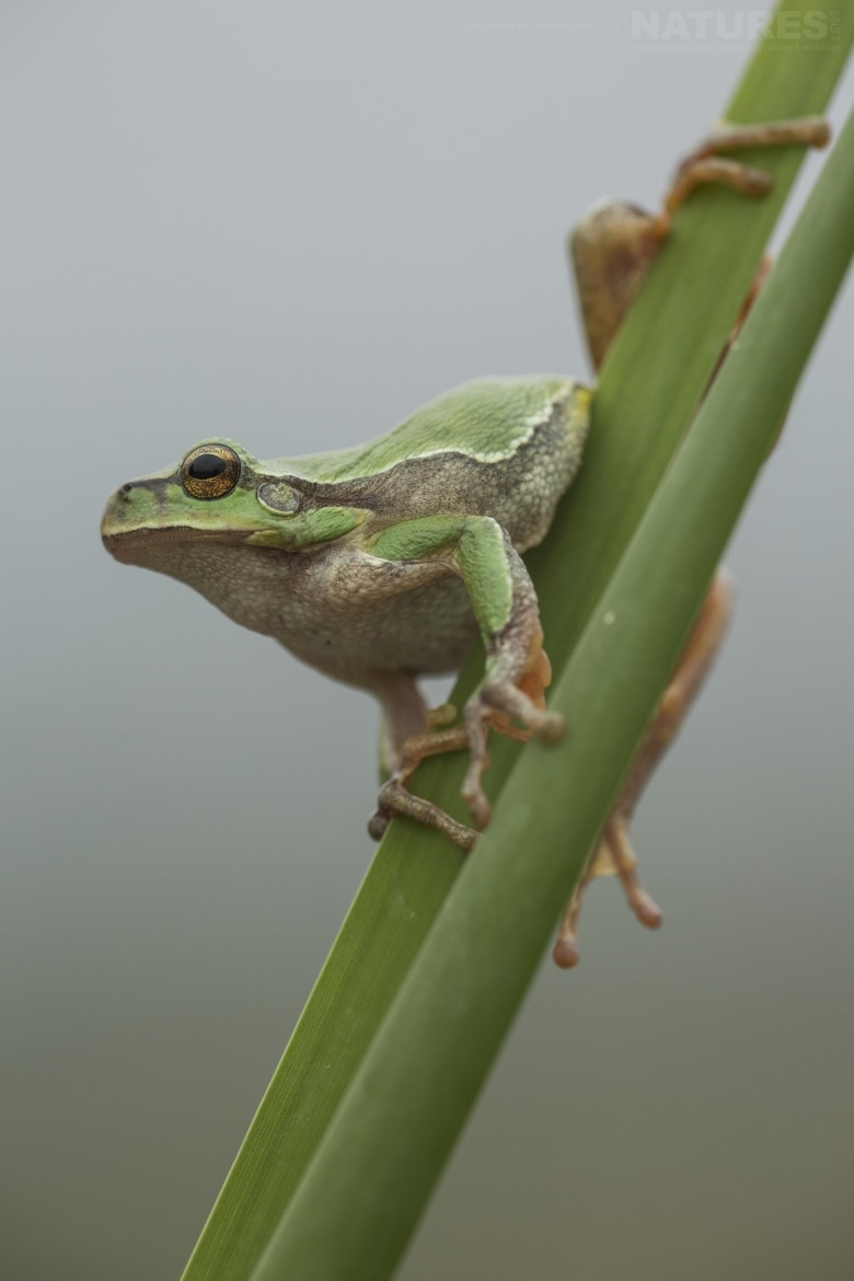A European Tree Frog clinging to reeds photographed in Bulgaria during the NaturesLens Reptiles Amphibians of Bulgaria photography holiday