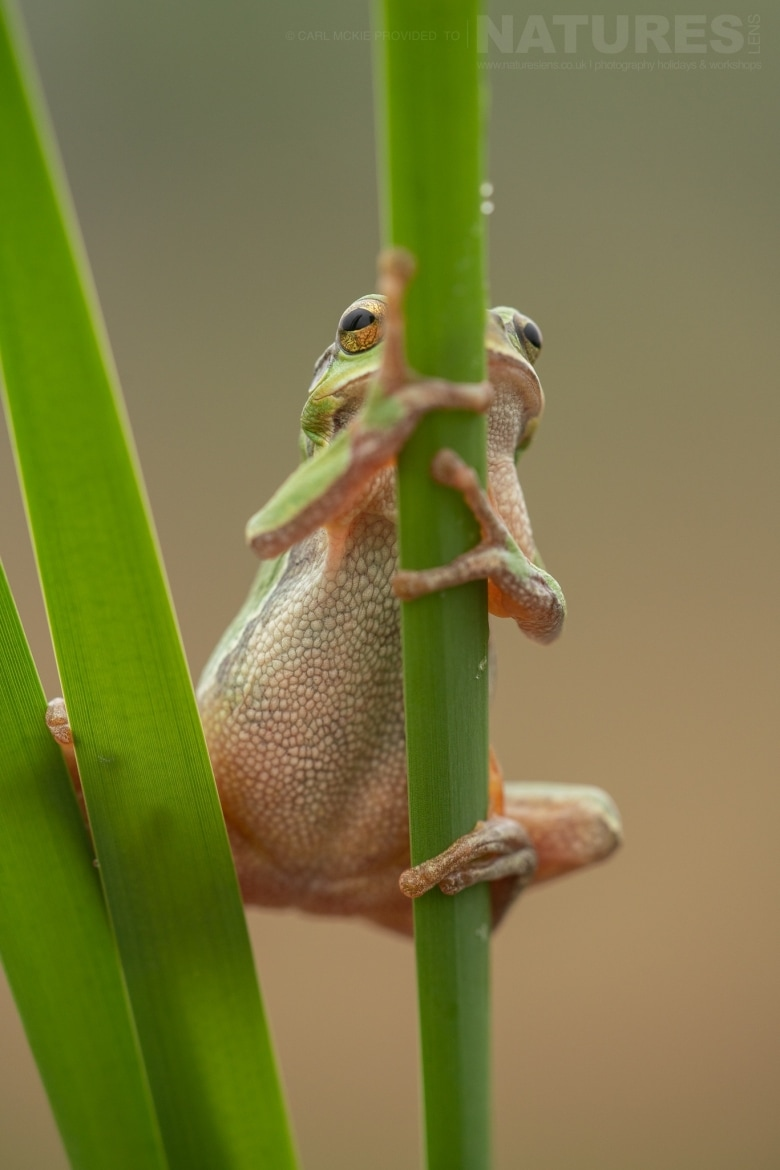 A European Tree Frog clinging to some reeds photographed during the NaturesLens Reptiles Amphibians of Bulgaria Photography Holiday