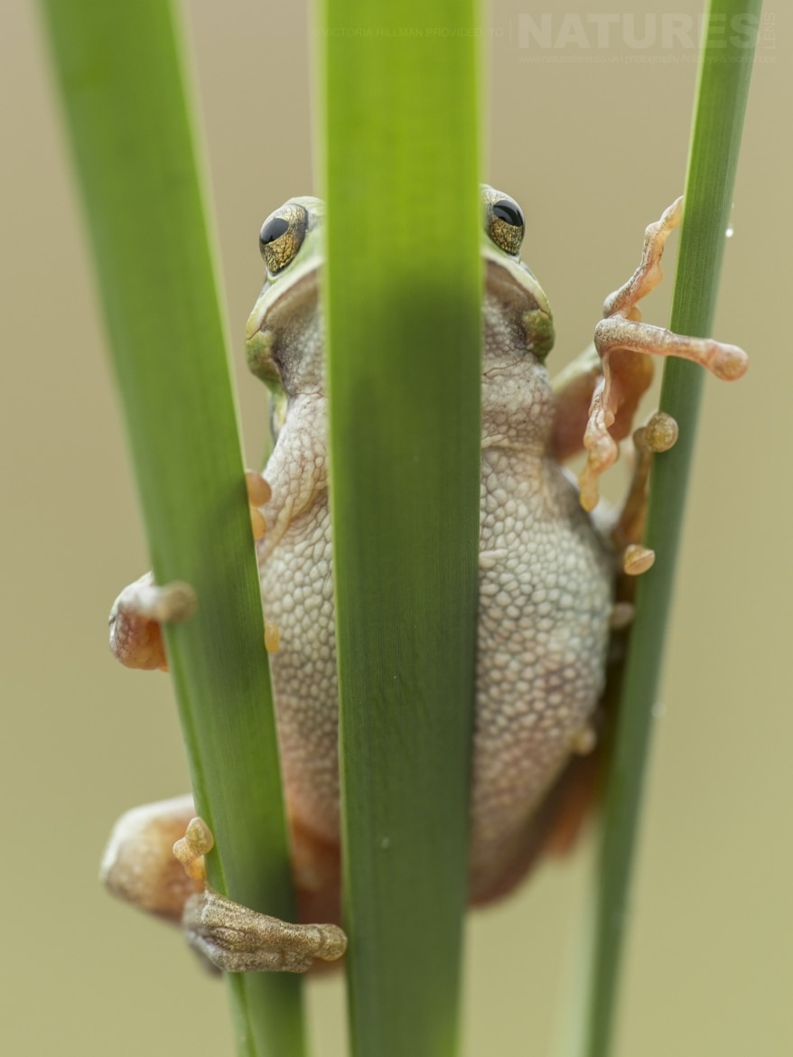 A European Tree Frog hiding behind a reed photographed during the NaturesLens Reptiles Amphibians of Bulgaria Photography Holiday