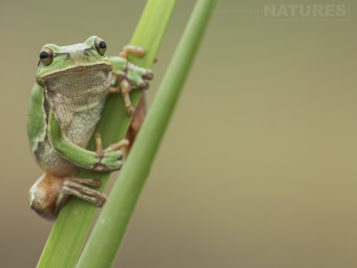 A European Tree Frog on a reed photographed during the NaturesLens Reptiles Amphibians of Bulgaria Photography Holiday