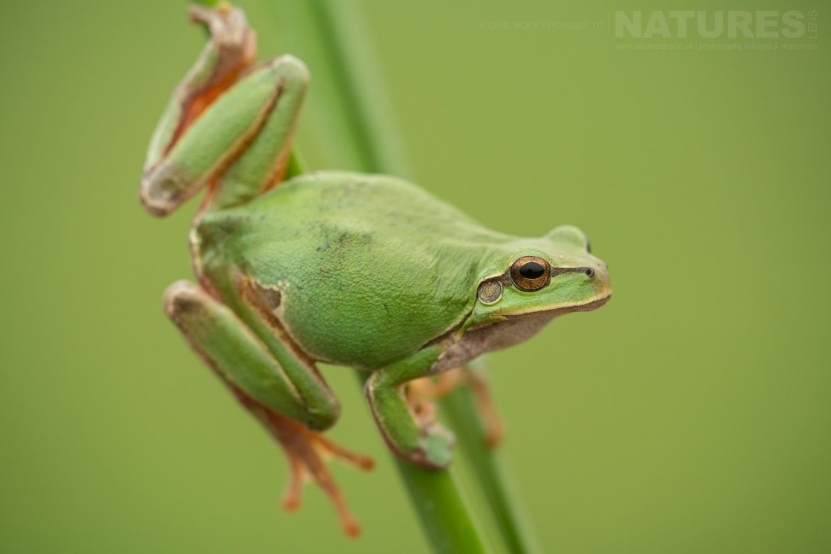 A European Tree Frog photographed during the NaturesLens Reptiles Amphibians of Bulgaria Photography Holiday