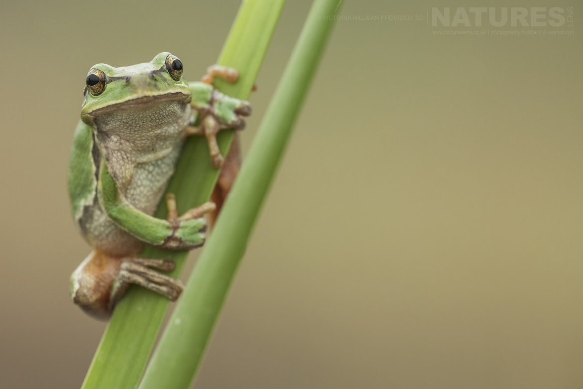 A European Tree Frog photographed in Bulgaria during the NaturesLens Reptiles Amphibians of Bulgaria photography holiday