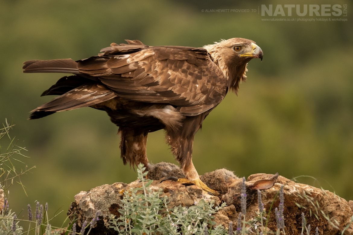 A Golden Eagles posing on a rocky outcrop photographed during one of the NaturesLens photography holidays to Spain