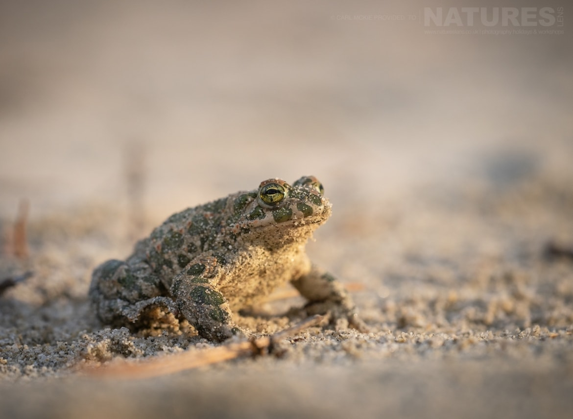 A Green Toad photographed during the NaturesLens Reptiles Amphibians of Bulgaria Photography Holiday