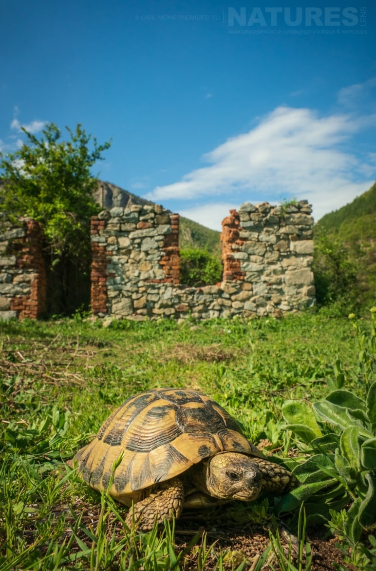 A Hermans Tortoise photographed outside a derelict farm building photographed during the NaturesLens Reptiles Amphibians of Bulgaria Photography Holiday