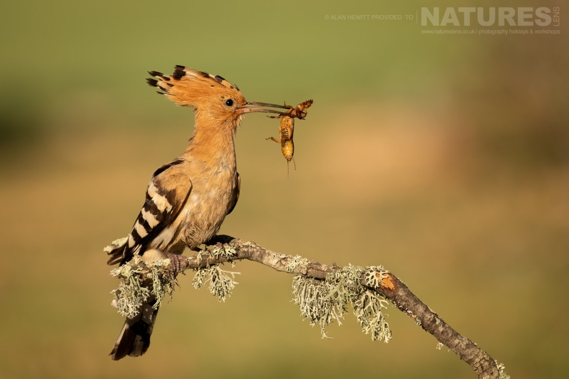 A Hoopoe returns to the nest with freshly caught prey photographed during one of the NaturesLens photography holidays to Spain