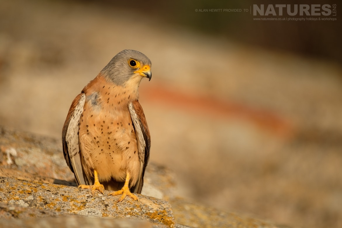 A Lesser Kestrel rests on the tiles of a derelict barn photographed during one of the NaturesLens photography holidays to Spain