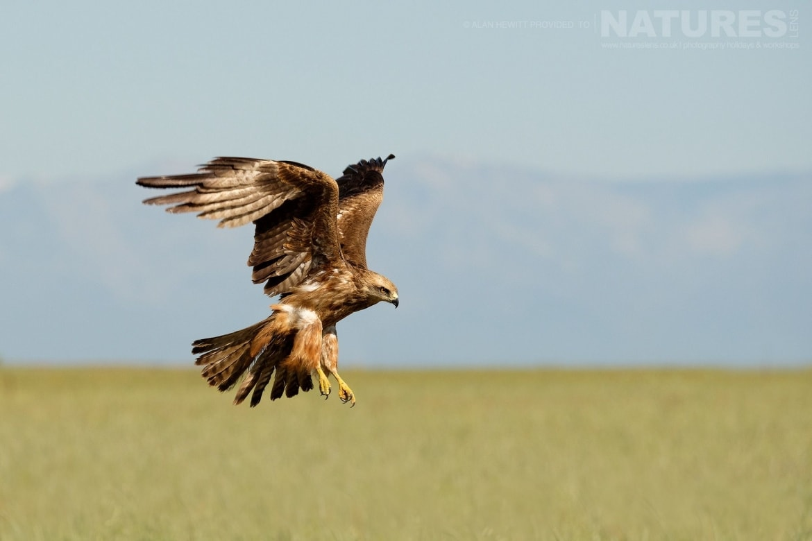 A Red Kite flies past the carrion hide photographed during one of the NaturesLens photography holidays to Spain
