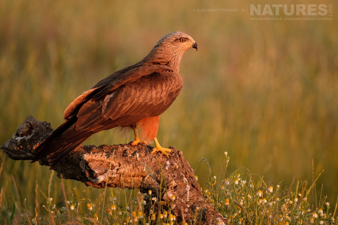 A Red Kite perches on a fallen branch amongst the wild flowers photographed during one of the NaturesLens photography holidays to Spain
