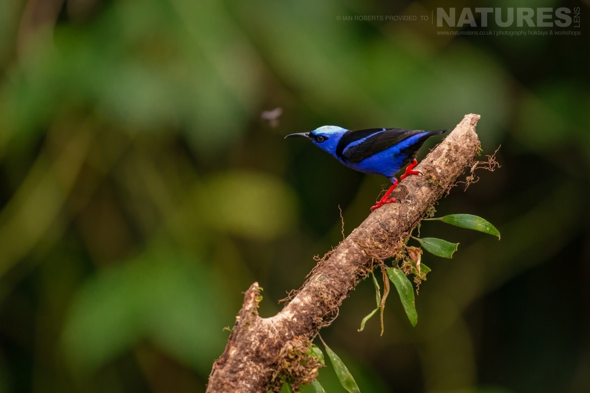 A Red Legged Honeycreeper photographed during the NaturesLens Costa Rican Wildlife Photography Holiday 1