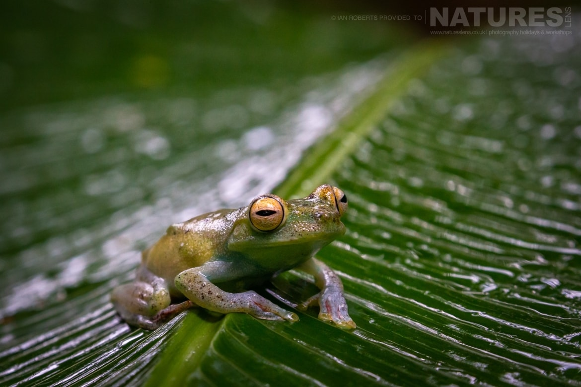 A Red webbed Tree Frog photographed during the NaturesLens Costa Rican Wildlife Photography Holiday 1