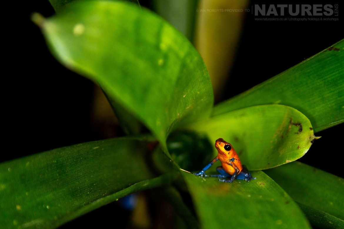 A Strawberry Poison Dart Frog photographed during the NaturesLens Costa Rican Wildlife Photography Holiday 1