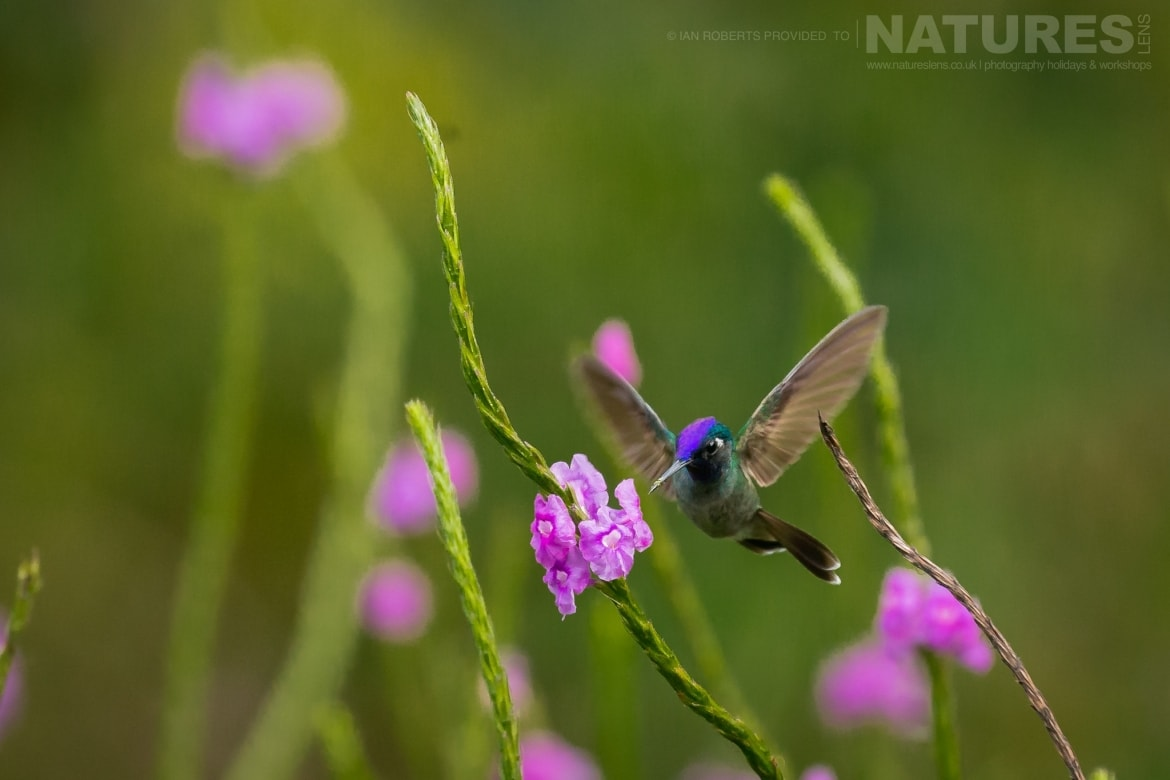 A Violet headed Hummingbird photographed during the NaturesLens Costa Rican Wildlife Photography Holiday 1