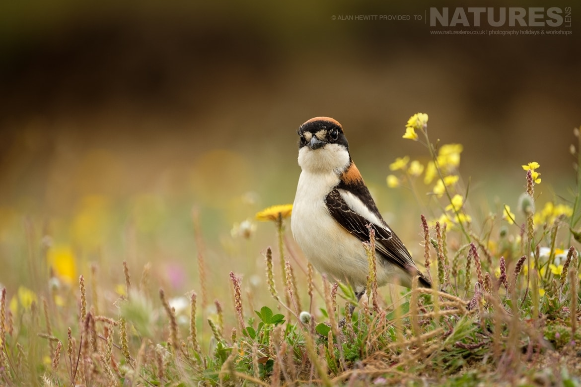 A Woodchat Shrike amongst the wild flowers photographed during one of the NaturesLens photography holidays to Spain