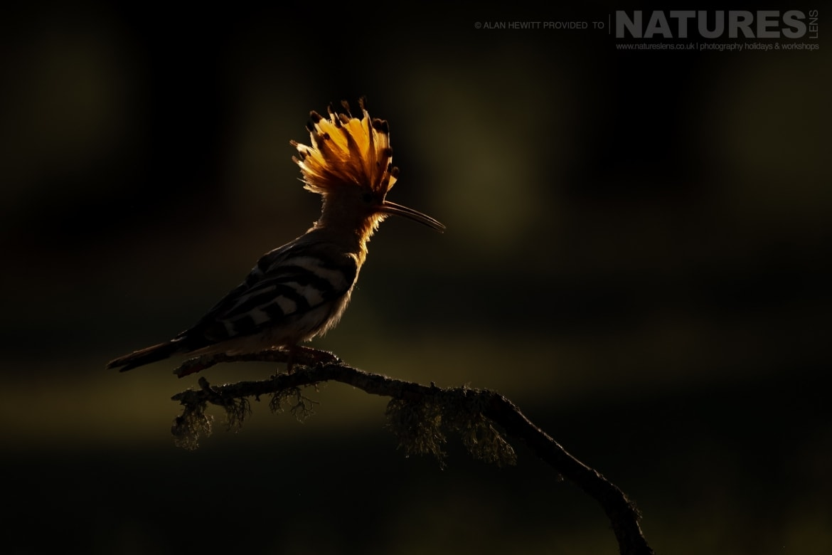 A back lit Hoopoe perches on a small twig photographed during one of the NaturesLens photography holidays to Spain
