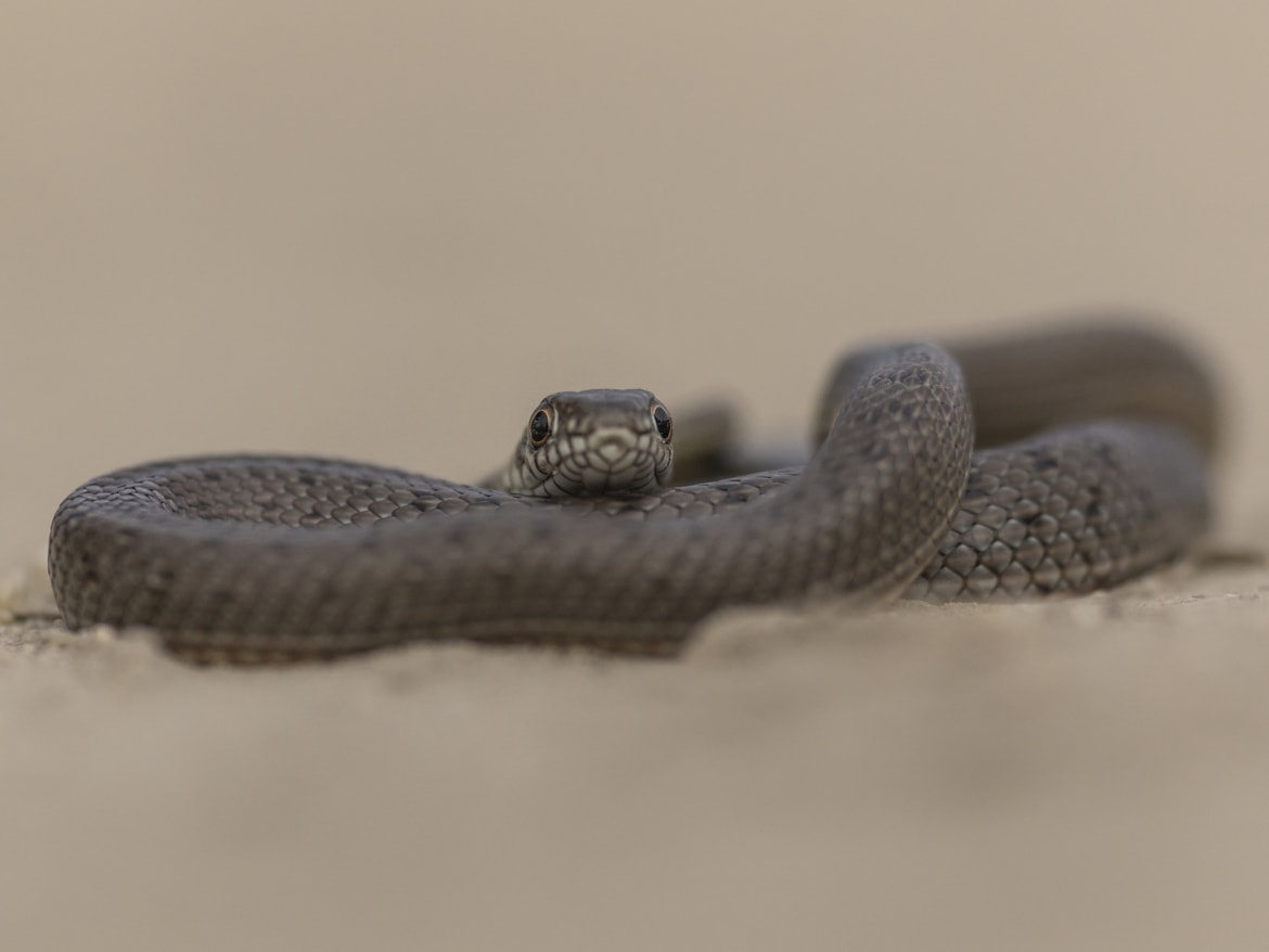 A coiled Caspian Whip Snake photographed during the NaturesLens Reptiles Amphibians of Bulgaria Photography Holiday