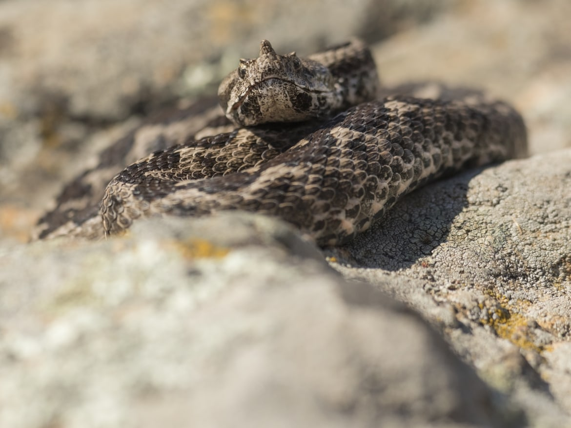 A coiled Nose horned Viper photographed during the NaturesLens Reptiles Amphibians of Bulgaria Photography Holiday