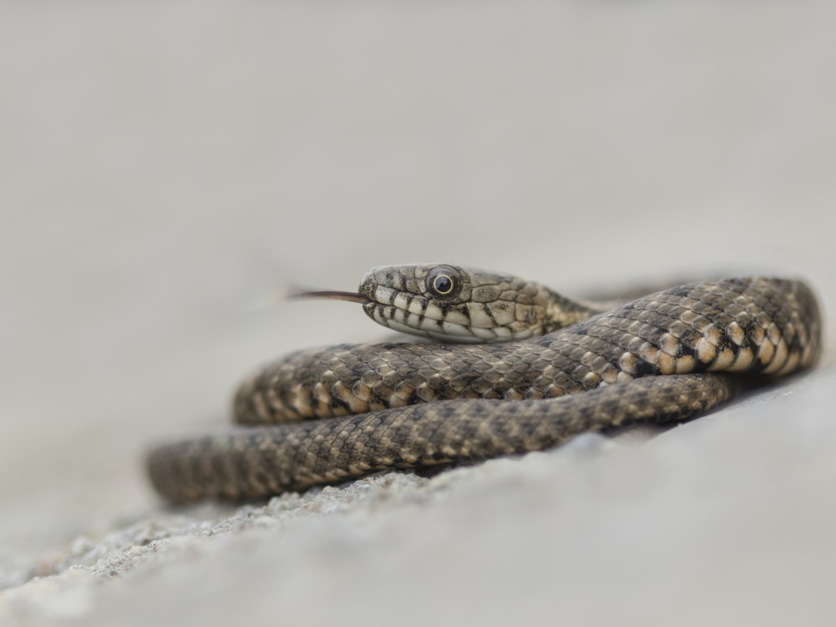 A coiled Young Dice Snake photographed during the NaturesLens Reptiles Amphibians of Bulgaria Photography Holiday