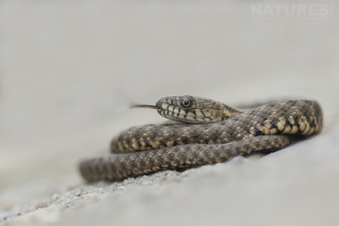 A coiled Young Dice Snake photographed in Bulgaria during the NaturesLens Reptiles Amphibians of Bulgaria photography holiday