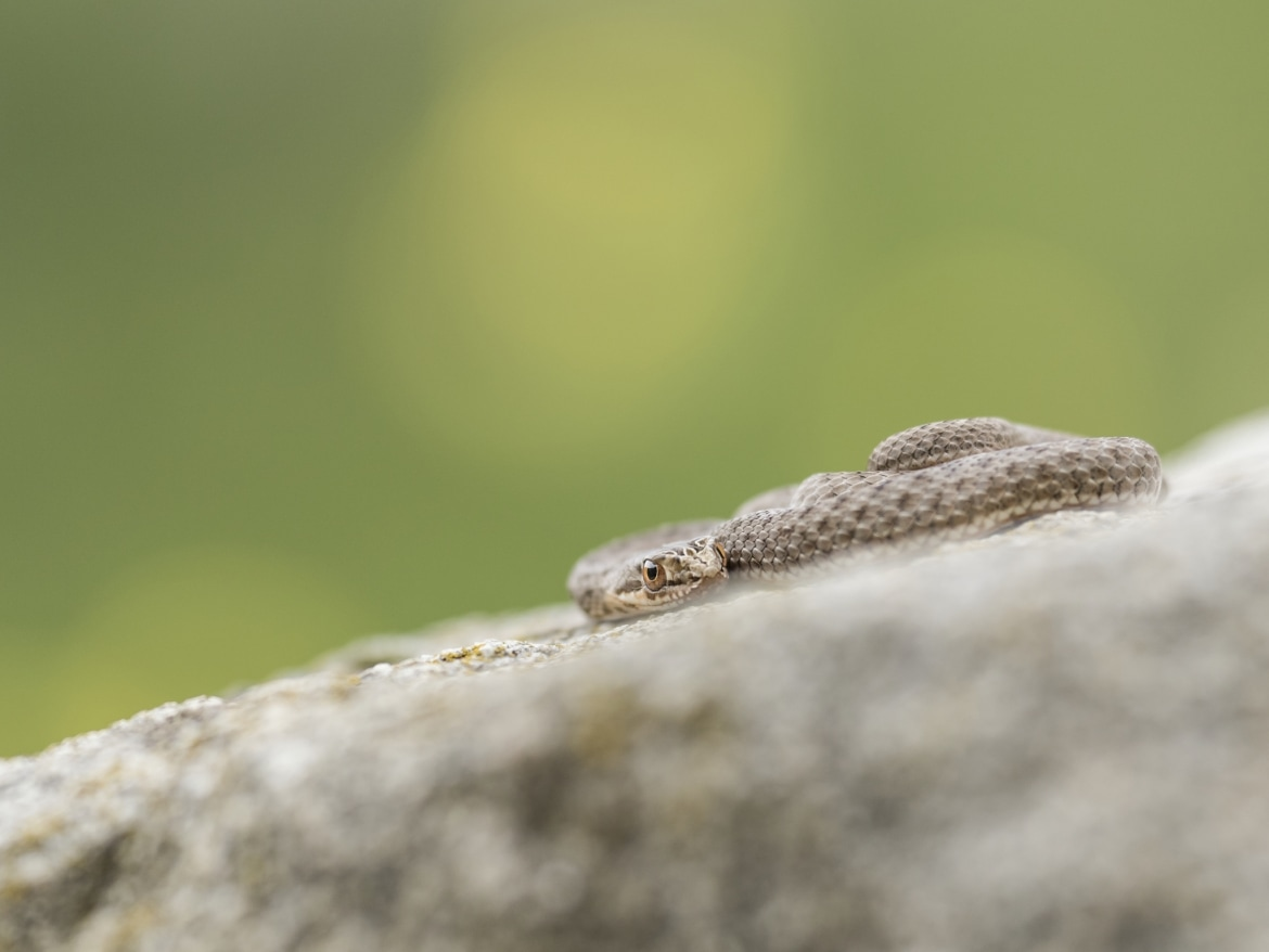 A coiled Young Montpellier Snake photographed during the NaturesLens Reptiles Amphibians of Bulgaria Photography Holiday