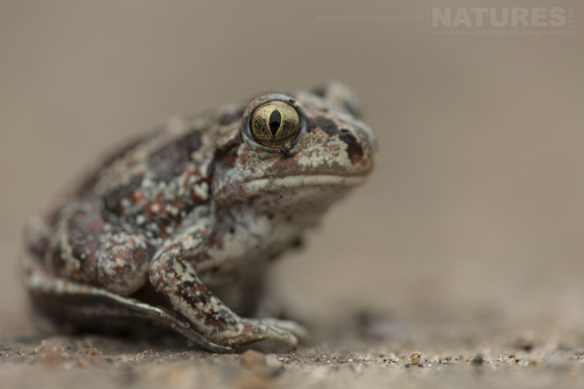 A crouched Common Spadefoot Toad photographed in Bulgaria during the NaturesLens Reptiles Amphibians of Bulgaria photography holiday