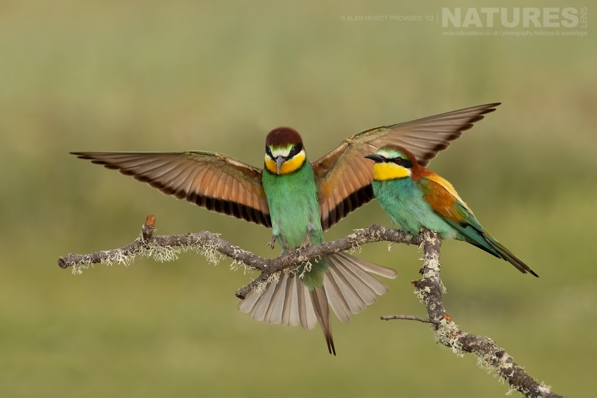 A duo of Eurasian Bee Eaters perch on a small twig photographed during one of the NaturesLens photography holidays to Spain