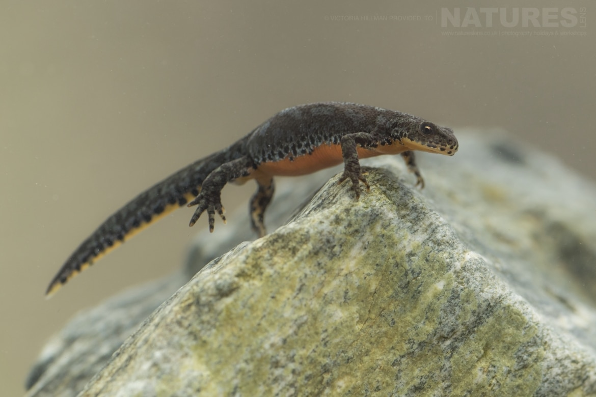 A female Alpine Newt photographed in Bulgaria during the NaturesLens Reptiles Amphibians of Bulgaria photography holiday