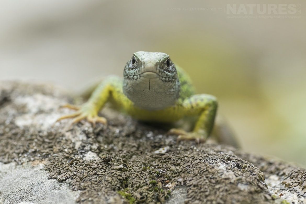 A female Eastern Green Lizard photographed in Bulgaria during the NaturesLens Reptiles Amphibians of Bulgaria photography holiday