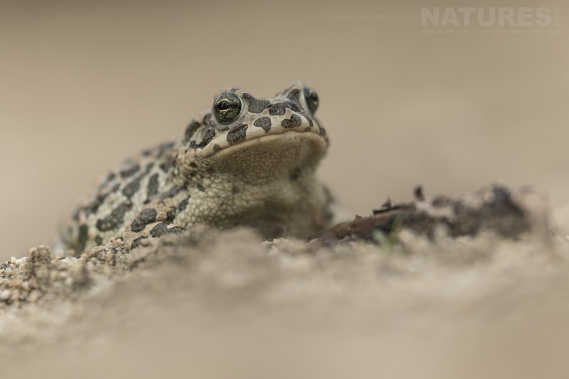 A female Green toad photographed in Bulgaria during the NaturesLens Reptiles Amphibians of Bulgaria photography holiday