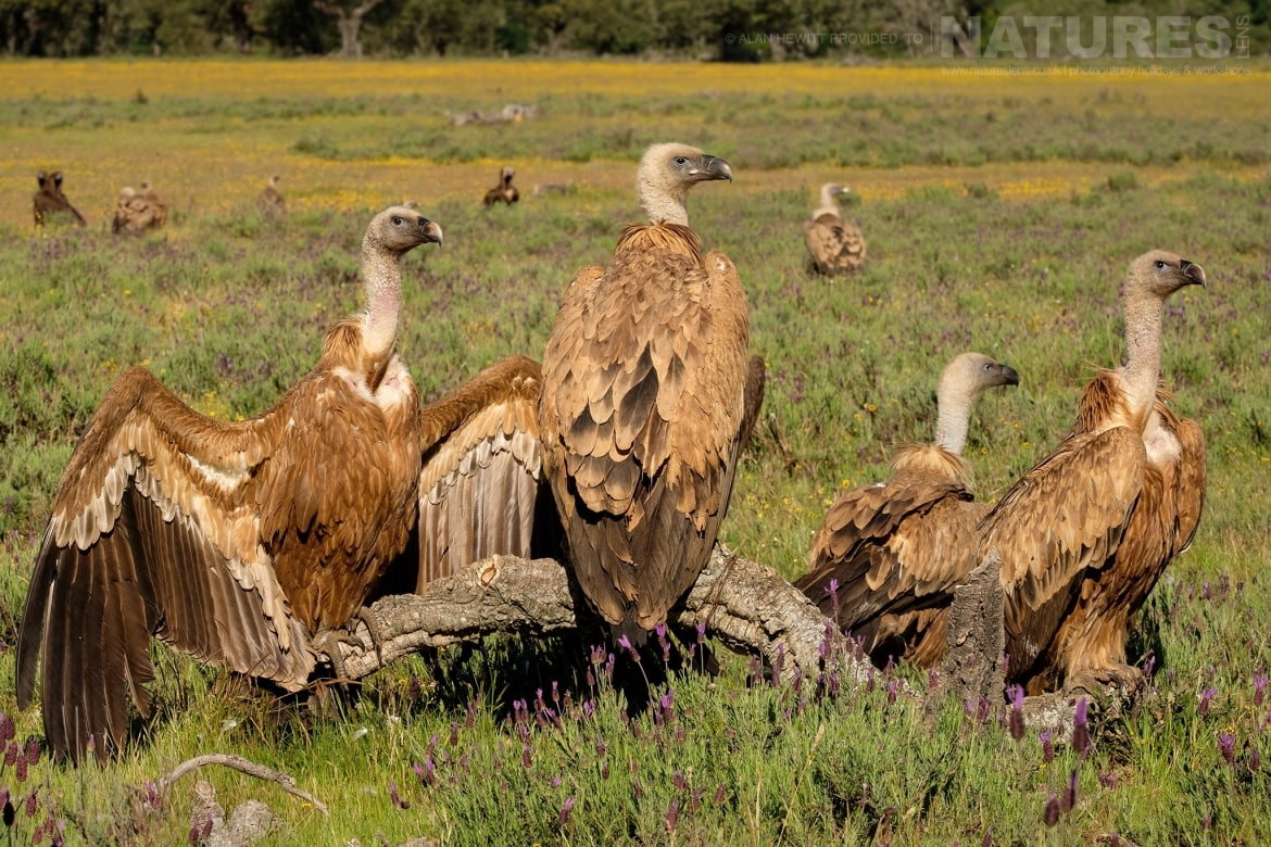 A group of Griffon Vultures at the carrion hide photographed during one of the NaturesLens photography holidays to Spain