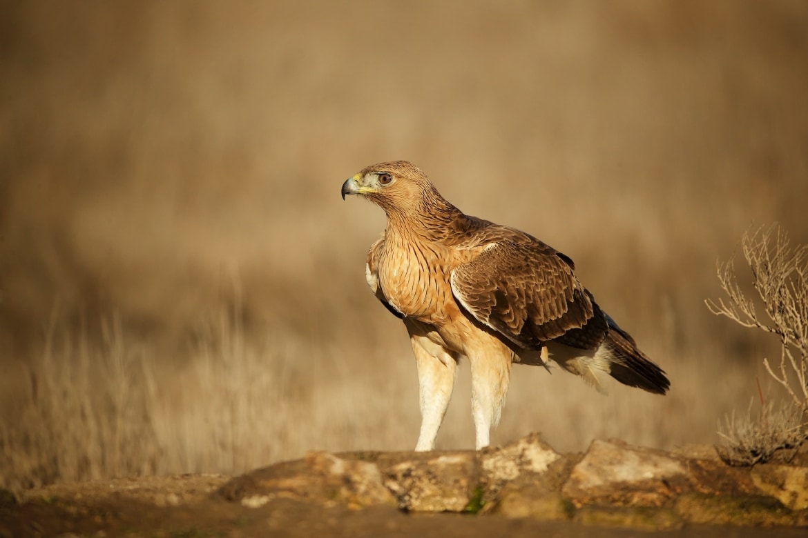 A juvenile Bonnellis Eagle on a golden winters morning photographed during the NaturesLens Winter Raptors of Toledo Photography Holiday