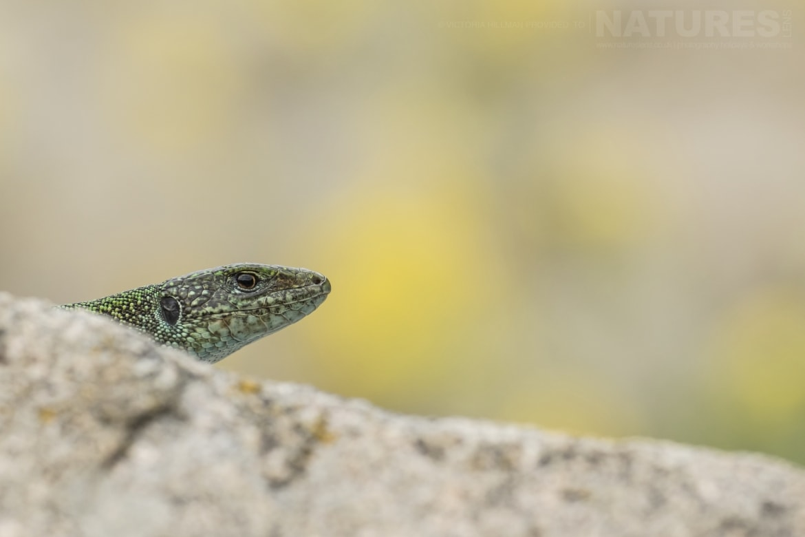 A male Eastern Green Lizard photographed in Bulgaria during the NaturesLens Reptiles Amphibians of Bulgaria photography holiday