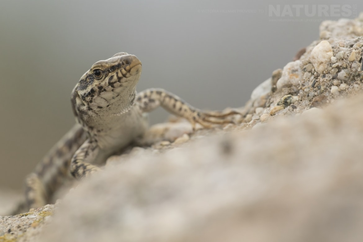A male Erhards Wall lizard photographed in Bulgaria during the NaturesLens Reptiles Amphibians of Bulgaria photography holiday