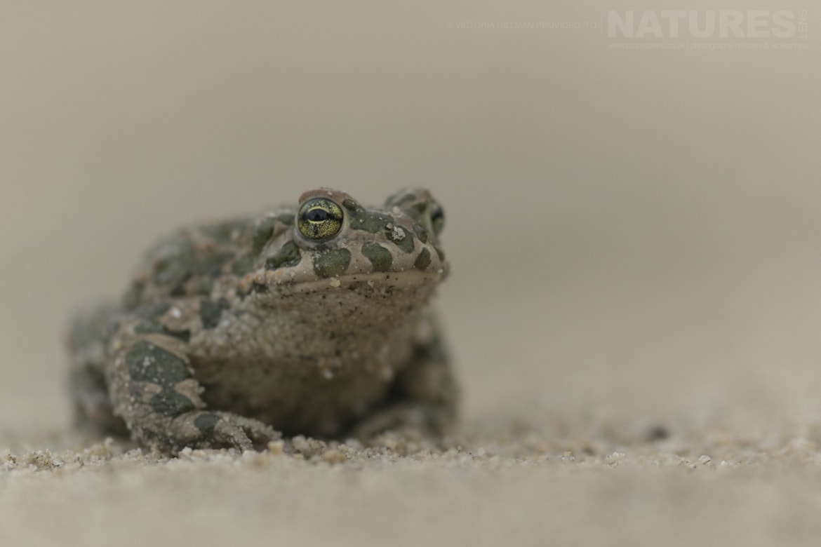 A male Green toad photographed in Bulgaria during the NaturesLens Reptiles Amphibians of Bulgaria photography holiday