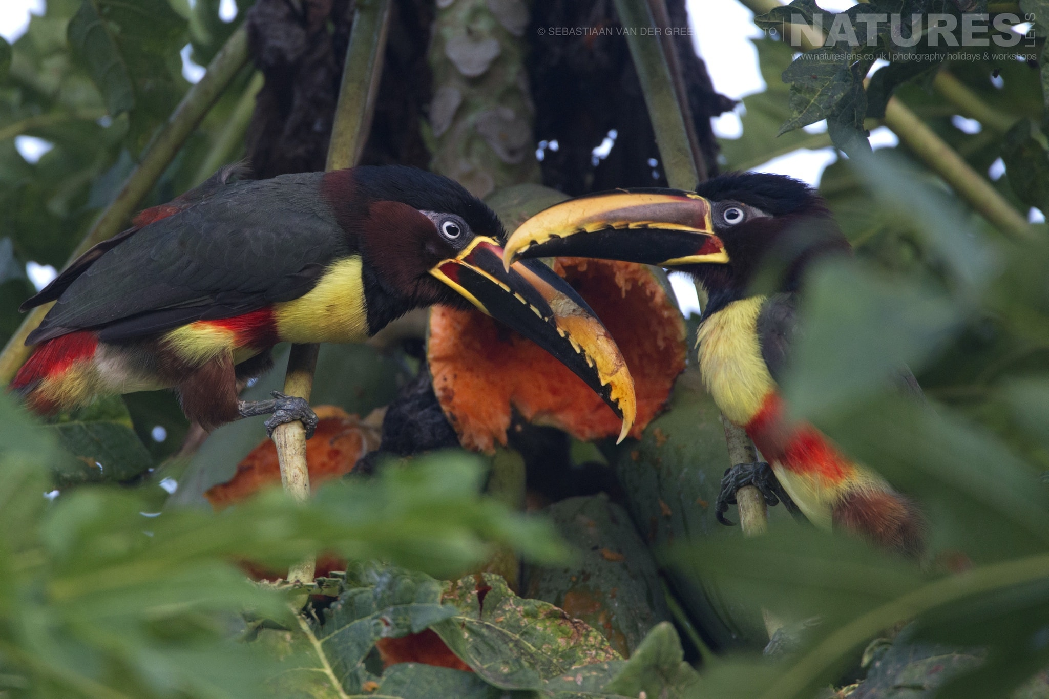 A pair of Aracari photographed in the locations used for the NaturesLens Wildlife of Brazil's Pantanal Photography Holiday