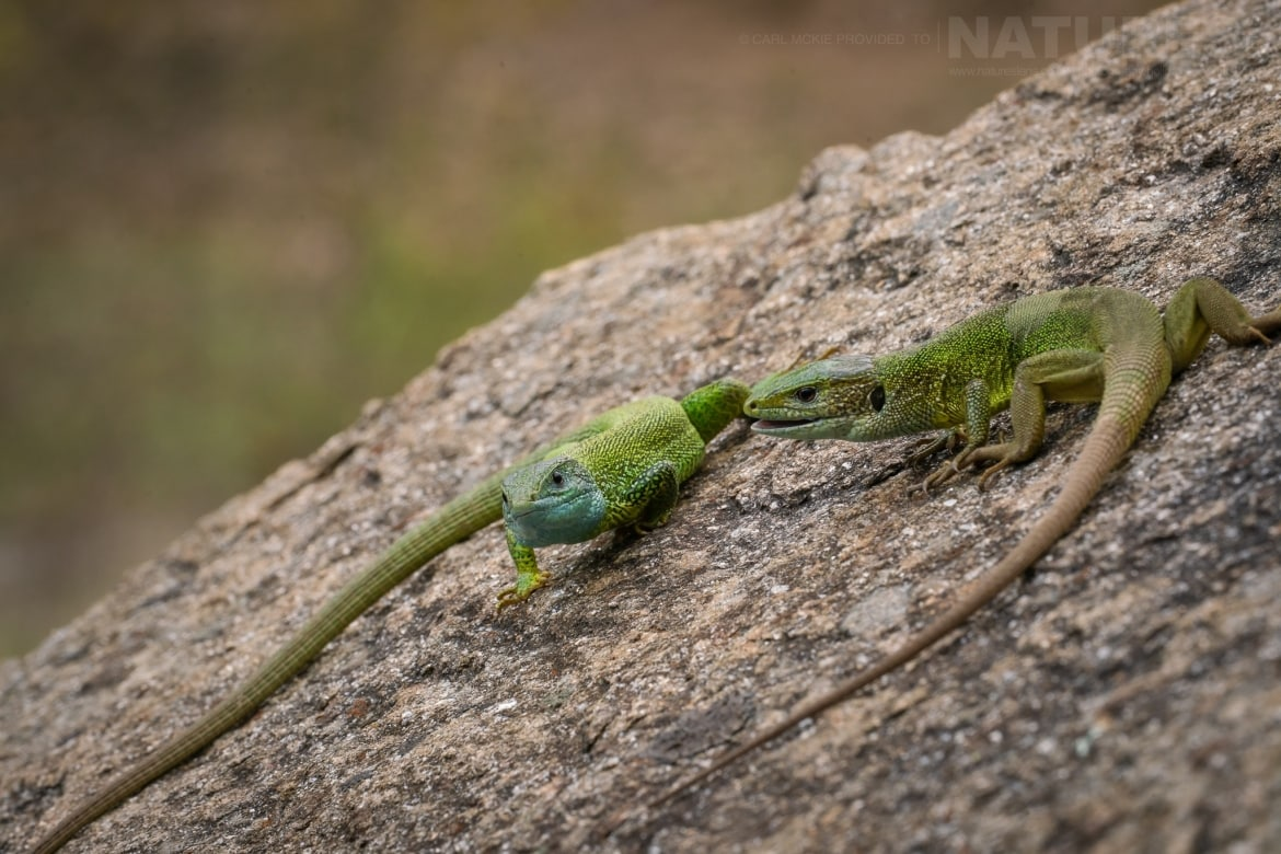 A pair of Eastern Green lizard both Male Female together photographed during the NaturesLens Reptiles Amphibians of Bulgaria Photography Holiday