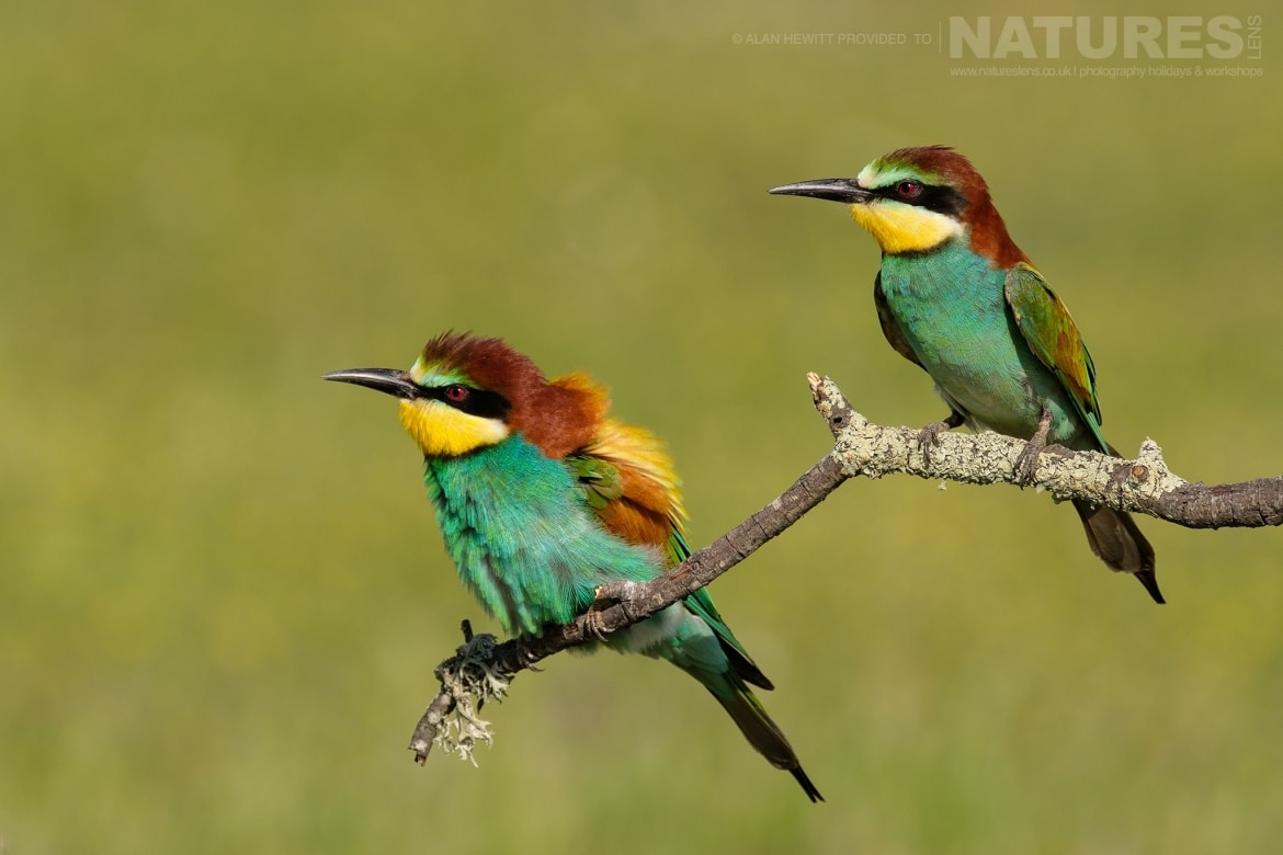 A pair of Eurasian Bee Eaters perch on a small twig photographed during one of the NaturesLens photography holidays to Spain