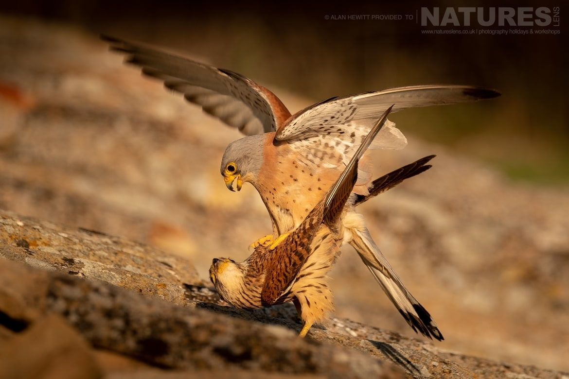 A pair of Lesser Kestrels mating on the rooftop of a derelict barn photographed during one of the NaturesLens photography holidays to Spain