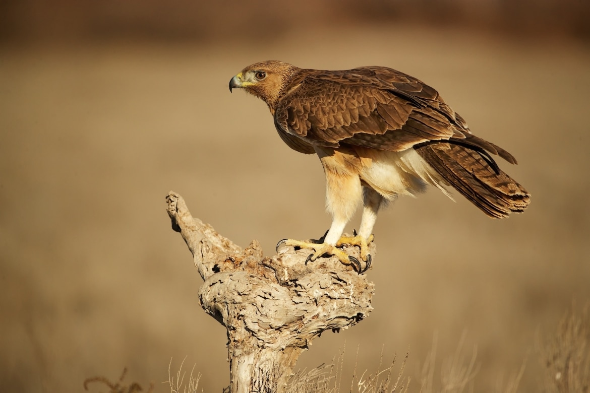 A perched juvenile Bonnellis Eagle on a golden winters morning photographed during the NaturesLens Winter Raptors of Toledo Photography Holiday