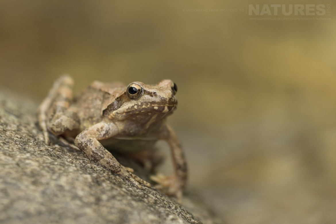A posed Greek Stream Frog photographed in Bulgaria during the NaturesLens Reptiles Amphibians of Bulgaria photography holiday