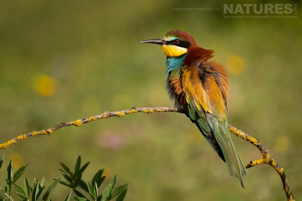 A solitary Eurasian Bee Eater perches on a small twig photographed during one of the NaturesLens photography holidays to Spain
