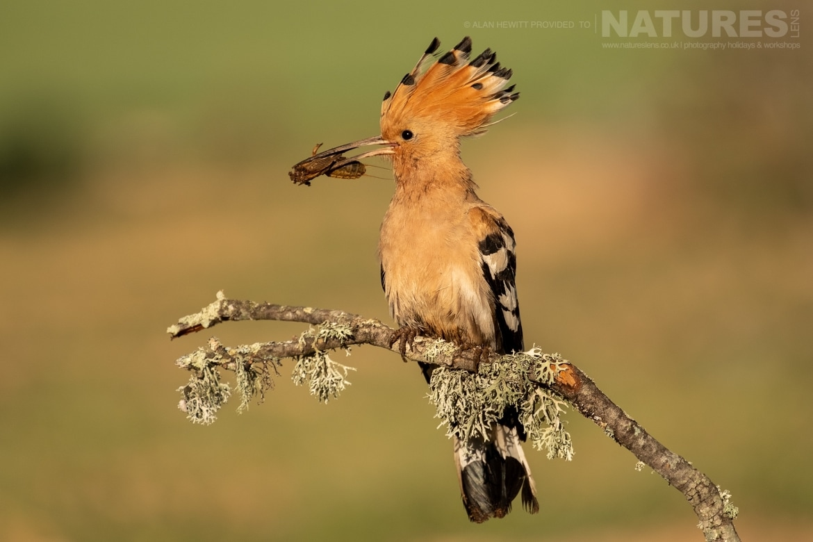 A solitary Hoopoe perches on a small twig photographed during one of the NaturesLens photography holidays to Spain