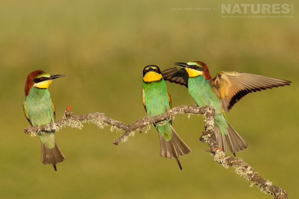 A trio of Eurasian Bee Eaters perch amongst the wild flowers photographed during one of the NaturesLens photography holidays to Spain