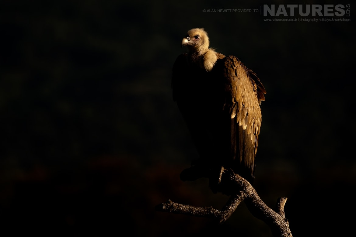 A very moody image of a side lit Griffon Vulture photographed during one of the NaturesLens photography holidays to Spain