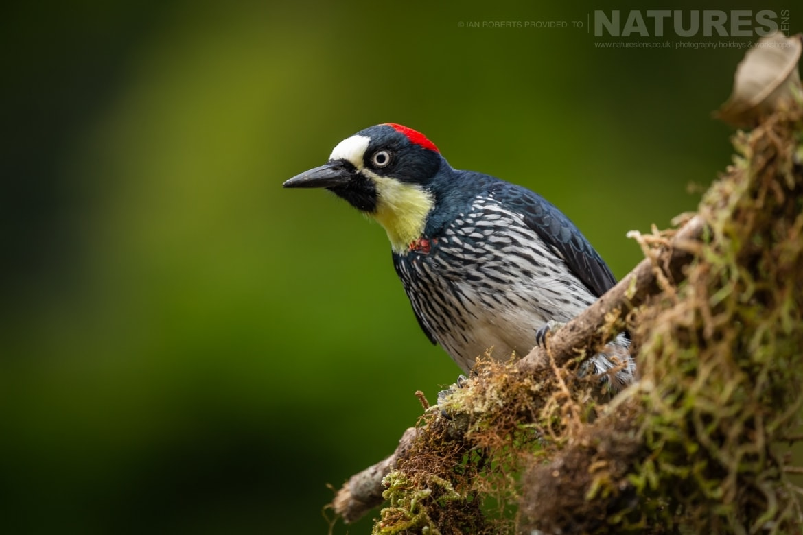 An Acorn Woodpecker photographed during the NaturesLens Costa Rican Wildlife Photography Holiday 1