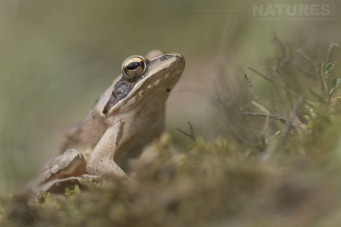 An Agile Frog photographed in Bulgaria during the NaturesLens Reptiles Amphibians of Bulgaria photography holiday