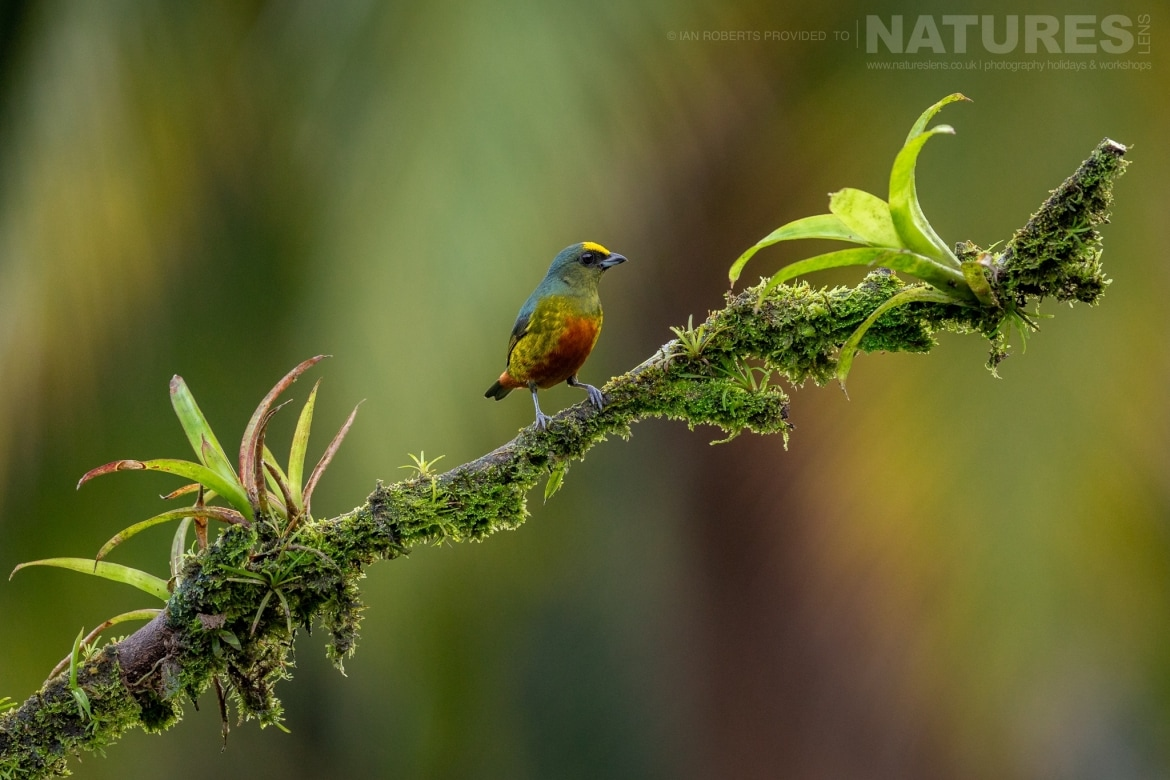 An Olive backed Euphonia photographed during the NaturesLens Costa Rican Wildlife Photography Holiday 1