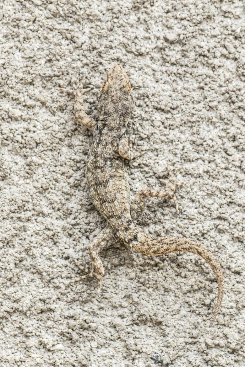 An image showing off the superb camoflauge of the Kotschys Gecko photographed in Bulgaria during the NaturesLens Reptiles Amphibians of Bulgaria photography holiday