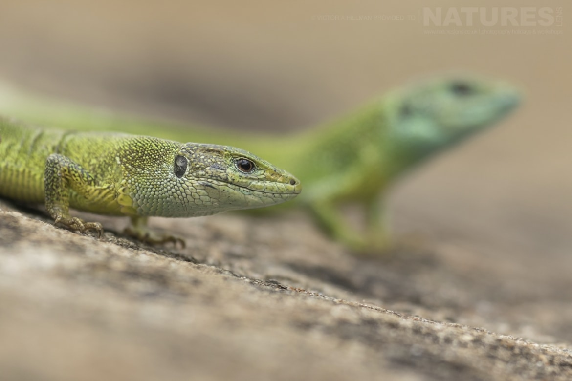 Both male female Eastern Green Lizards photographed in Bulgaria during the NaturesLens Reptiles Amphibians of Bulgaria photography holiday