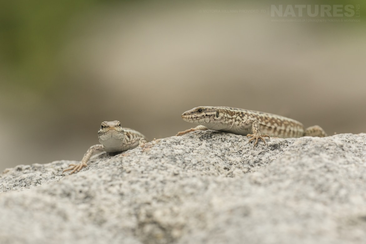 Both male female Erhards wall lizard photographed in Bulgaria during the NaturesLens Reptiles Amphibians of Bulgaria photography holiday